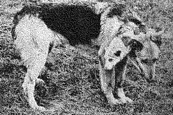 chien-deux-tetes
